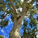 小学生、4年生「プラタナスの木」の話し合いは心情曲線で!実際に行った発問を紹介します!